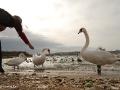 Лебеди и люди
