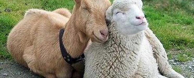 Козел и овца